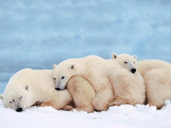 Osos polares, The Network by Moraga