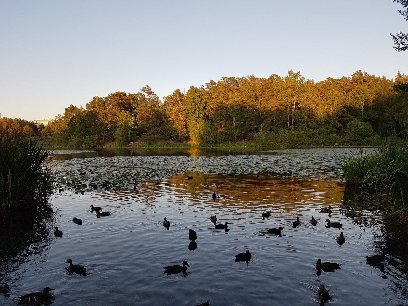 Patos en el lago de Grimsta